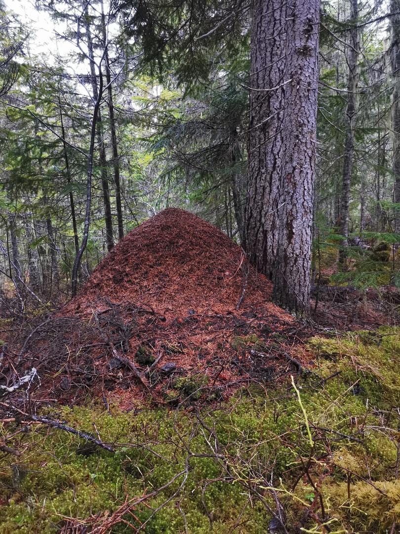 Муравейник рыжих лесных муравьев